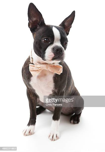 Boston Terrier wearing a bow tie