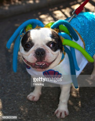 Boston Terrier Wearing Costume : Stock Photo