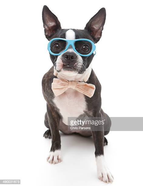 Boston Terrier wearing glasses and a bow tie