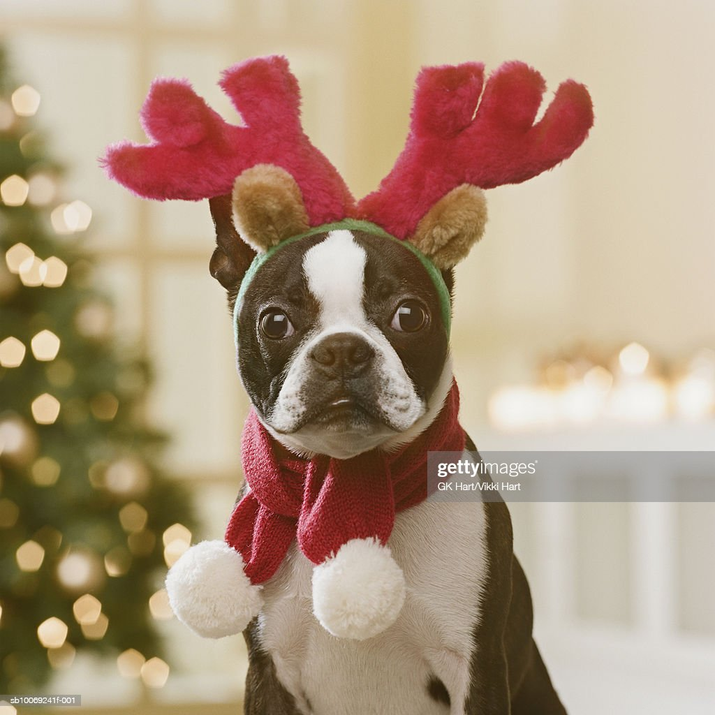 Boston Terrier wearing reindeer antlers in front of Christmas tree, close-up : Stock Photo