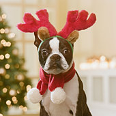 Boston Terrier wearing reindeer antlers in front of Christmas tree, close-up