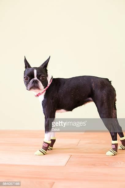 Boston Terrier Wearing Socks