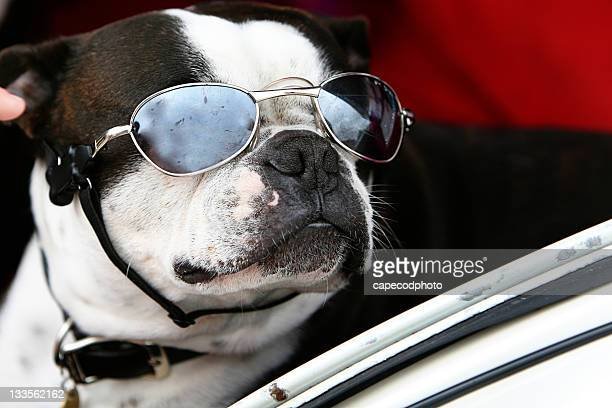 Boston Terrier with Sunglasses