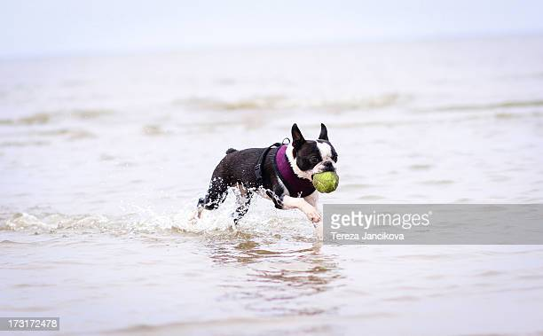Boston Terrier with tennis ball running in water