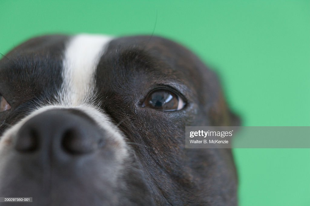 Boston Terrier's nose, close-up : Stock Photo