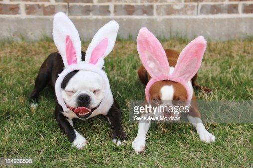 Boston terriers wearing rabbit ears