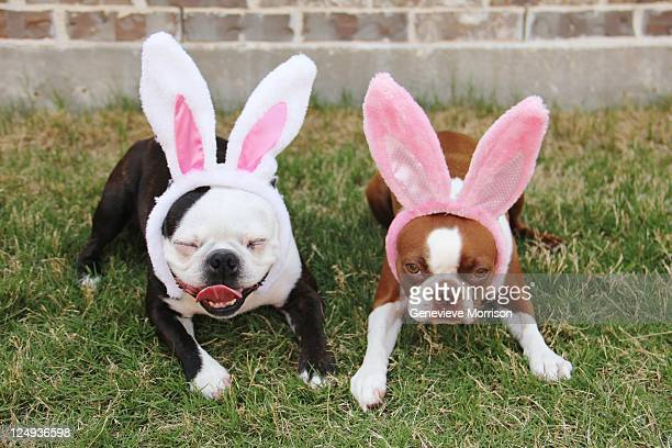 Boston terriers wearing rabbit ears