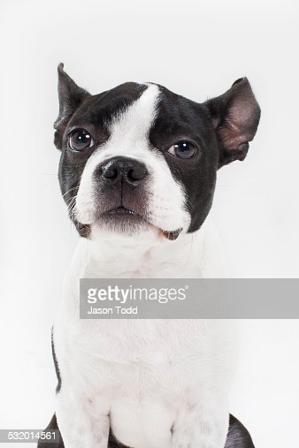 boston terrior puppy dog in studio on white