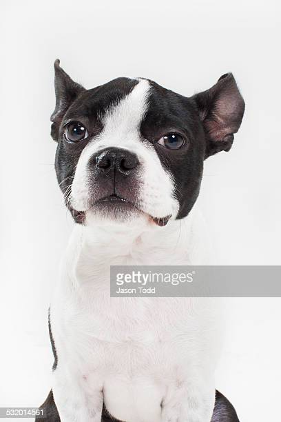 boston terrior puppy dog in studio on white