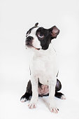 Boston terrior puppy dog on white looking guilty