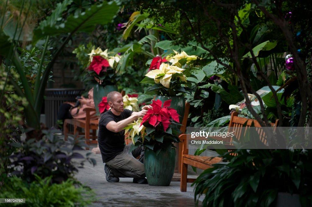 Botanic Garden gardener Kenny Silveira arranges poinsettias for the Christmas seasonal exhibit, which opens on November 22nd.