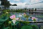 This is a color photograph taken during a summer at the New York City Botanical Garden in the Bronx. The pink lilies that fill the foreground are part of an exhibit on Monet's water lilies. In the bac
