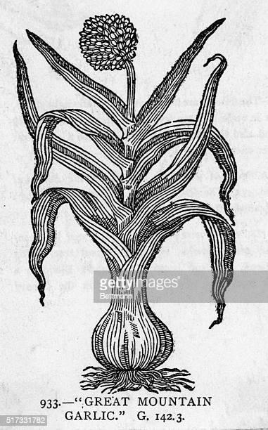 Botanical illustration of 'GREAT MOUNTAIN GARLIC' Undated woodcut