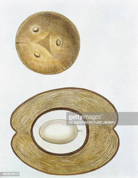 Botany Coconut entire and in section illustration