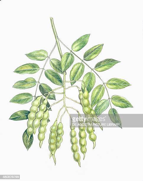 Botany Fabaceae Leaves and fruits of Pagoda Tree illustration