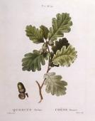 Botany Fagaceae Pedunculate or English oak Henry Louis Duhamel du Monceau botanical plate by Pancrace Bessa