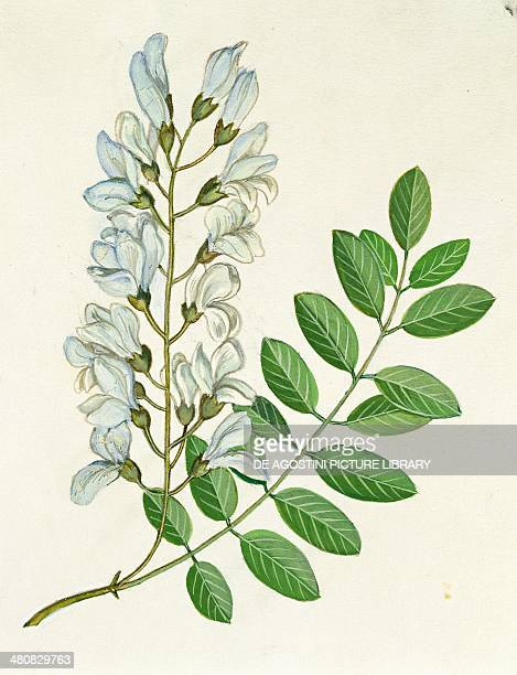 Raceme Stock Photos and Pictures   Getty Images Raceme Inflorescence