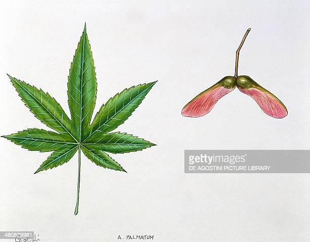 Botany Leaves and fruits of Japanese Maple illustration