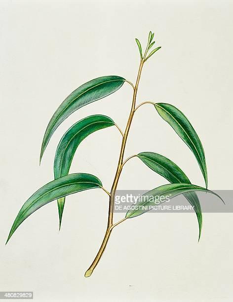 Botany Myrtaceae Old leaves of Blue Gum illustration