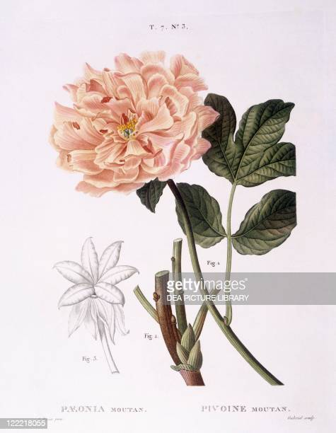 Botany Paeoniaceae Peony Henry Louis Duhamel du Monceau botanical plate by Pancrace Bessa