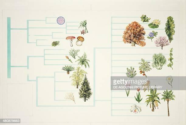 Botany Plant classification scheme Illustration