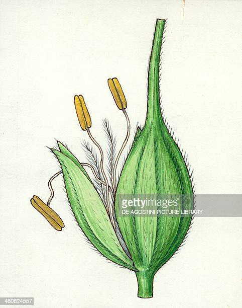 Botany Poaceae or true grasses scheme of the flower Illustration