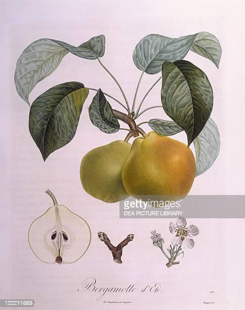 Botany Rosaceae Pear 'Bergamot' Henry Louis Duhamel du Monceau botanical plate by Pierre Antoine Poiteau