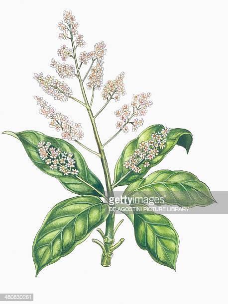 Botany Trees Anacardiaceae Leaves and flowers of Mango illustration