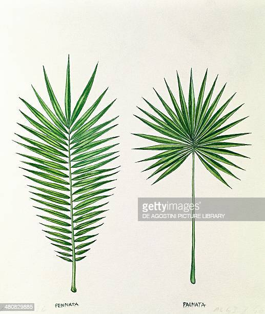 Botany Trees Arecaceae Palm tree leaves pinnate and palmate illustration
