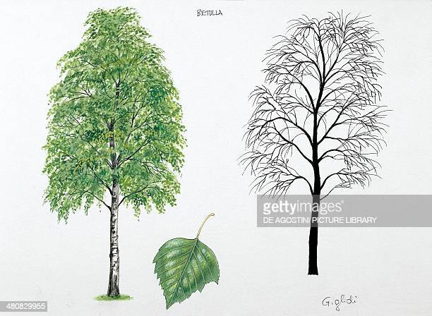 Botany Trees Betulaceae Silver birch illustration