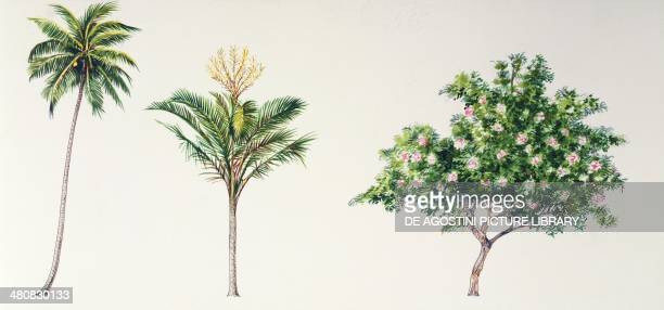 Botany Trees Coconut Palm Sago palm and Pink Orchid Tree illustration