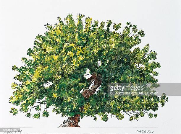Botany Trees Fabaceae Carob tree or St John's bread illustration