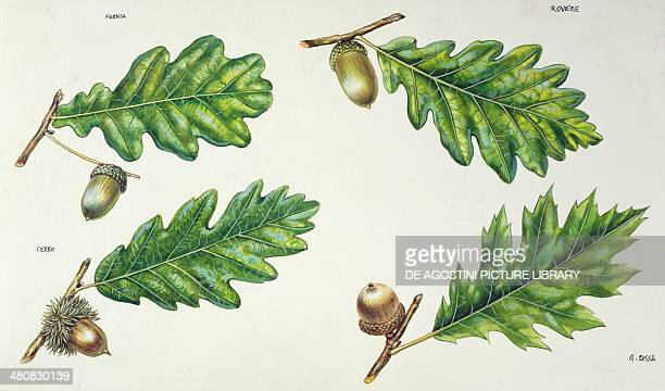 Botany Trees Fagaceae Leaves and acorns of Pedunculate oak Sessile oak Turkey oak Northern red oak illustration