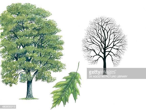 Botany Trees Fagaceae Northern Red Oak illustration