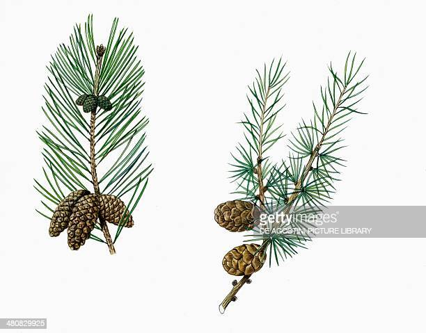 Botany Trees Pinaceae Leaves and cones of Maritime pine and Larch illustration