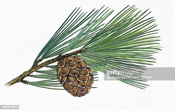 Botany Trees Pinaceae Leaves and cones of Swiss pine illustration