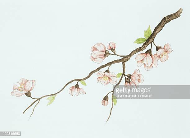 Botany Trees Rosaceae Almond branch with flowers Drawing