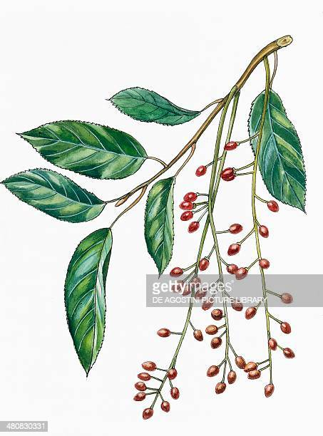 Botany Trees Rosaceae Leaves and fruits of Portugal laurel illustration