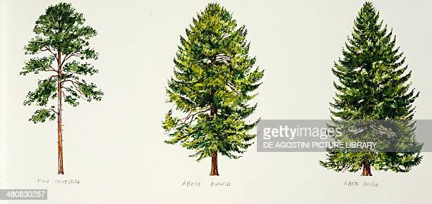 Botany Trees Scots Pine European silver fir and Norway spruce illustration