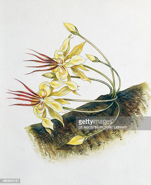 Botany Trees Sterculiaceae Flowers of Cacao illustration