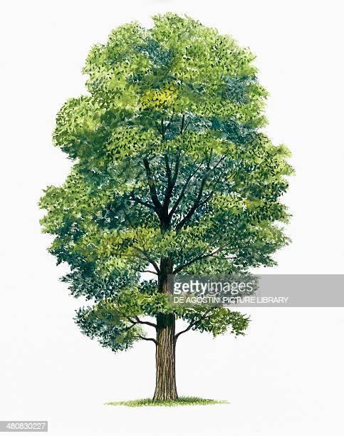 Botany Trees Ulmaceae Wych Elm illustration