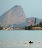 A 'Boto Cinza' dolphin swims in the polluted waters of the Guanabara Bay in Rio de Janeiro Brazil on May 21 2015 According to biology teachers of the...