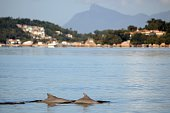 'Boto Cinza' dolphins swim in the polluted waters of the Guanabara Bay in Rio de Janeiro Brazil on May 21 2015 According to biology teachers of the...
