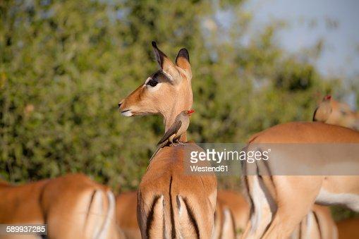 Botswana, Chobe National Park, oxpecker sitting on back of impala