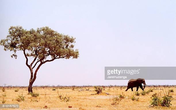 Botswana: Lone Elephant, Lone Tree, Grasslands
