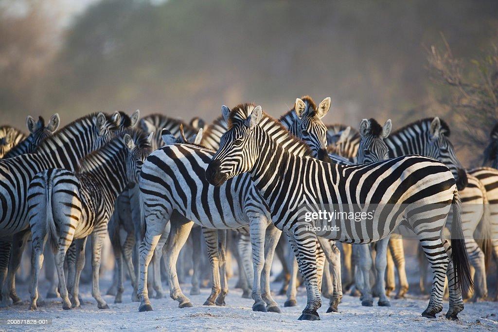 Botswana, Magkadikadi Pan, zebra herd on track : Stock Photo