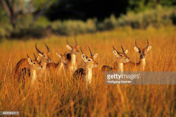 Botswana Moremi Wildlife Reserve Red Lechwe Young Males