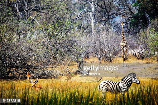 Botswana, Okavango Delta, antelopes, zebra and giraffe
