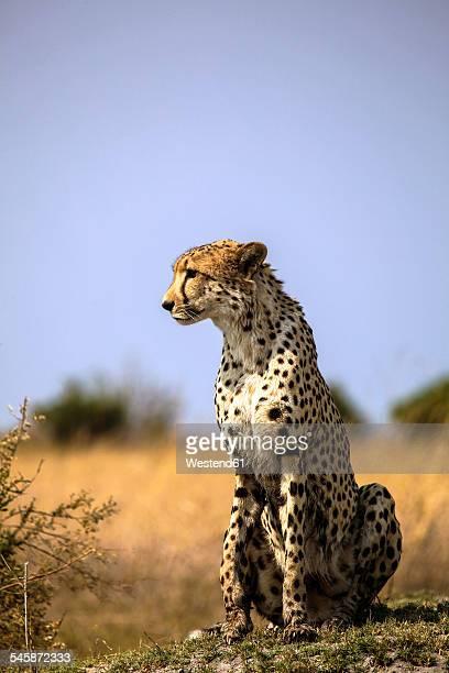 Botswana, Okavango Delta, cheetah