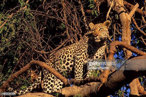 Botswana Okavango Delta Mombo Island Leopard In Tree